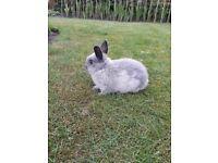 Various Netherland Dwarf Rabbits