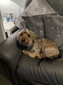Yorkshire terrier rehoming