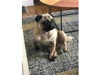 2.5 year old pedigree pug for sale £500