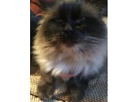 7+ Kilo Massive Pedigree Ragdoll Male Cat For Sale