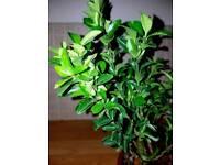 Buxus box bonsai