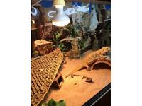 Bearded dragon, vivarium full set up