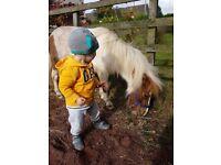 Miniture shetland pony for sale