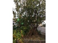 Fruit Trees Free to a good home