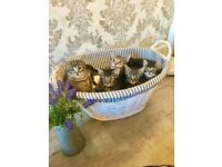 Bengal X kittens ready now