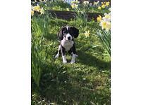 Beagle x spaniel pup 15 weeks old