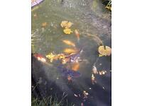 14 mature 3-4 yr old pond fish for sale