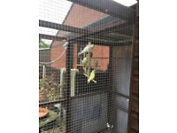 Budgies for sale £10-15