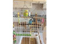 2MALE BUDGIES FOR SALE