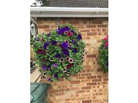 Large hanging baskets 30 inches across garden plants