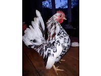 Serama Cockerel approx 14 weeks old. Chicken for sale.