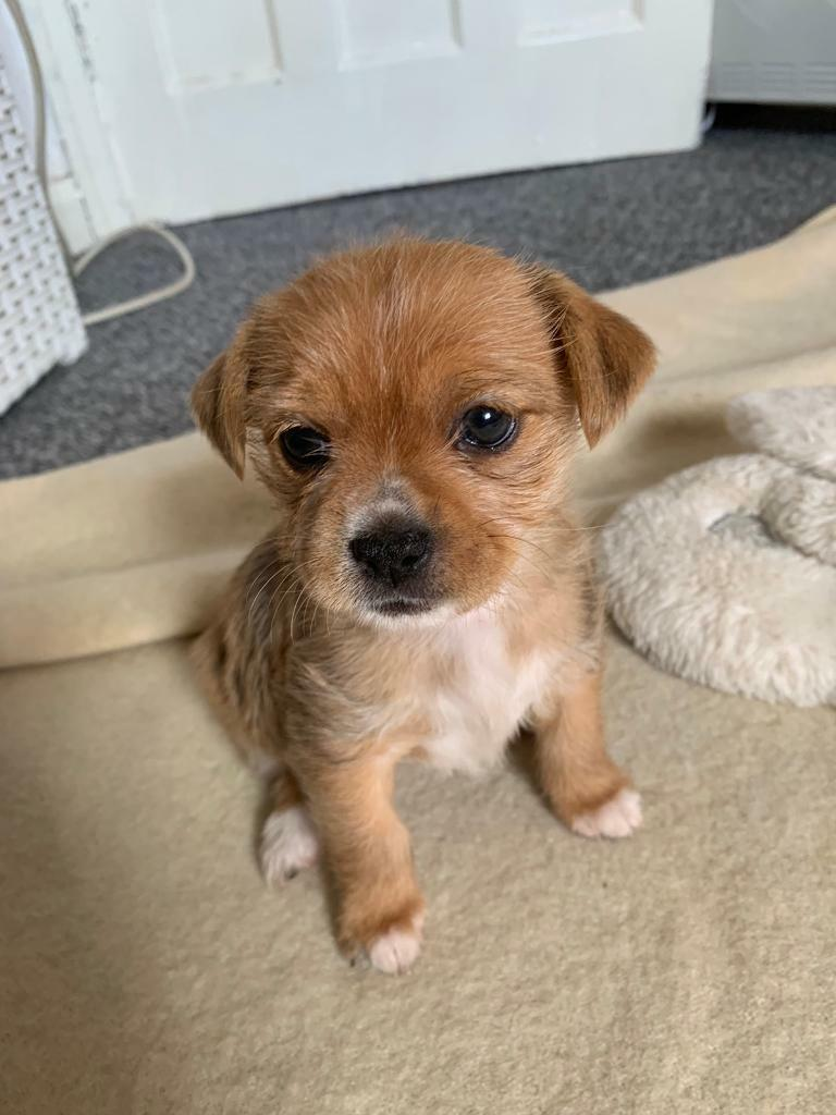 Yorkshire Terriers X Pomeranian Puppies Ready To Leave Now Still