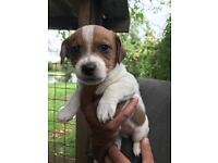 Jack Russell cross patterdale terrier puppies