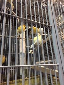 Pair canary and cage £40