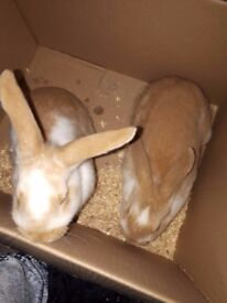 Baby Lop eared rabbits available NOW - 8 Weeks Old mother and father can been seen - Hand Reared