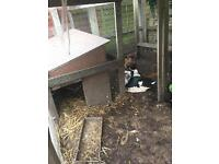 Pair of Muscovy ducks for sale