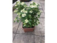 Beautiful Guelder Rose for Sale!