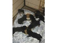 GERMAN SHEPHERD PUPS only 4 boys left