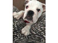 5 month old female bulldog