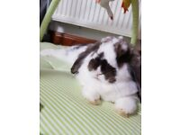 Hi, Im Smudge. Im very cute and stunning bunny and im looking for home. Im 4 months old .