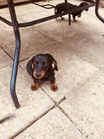 Miniatures dachshund puppy!!!!