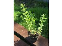 Yellow loosestrife plant