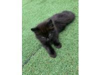 4 Ragdoll kittens