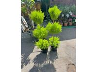 3 tier conifer