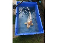 Koi various sizes/colours up to 22 inches