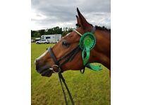 Sharer wanted - 15.2 Irish Sports Horse