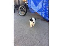 Half shitzu puppies for sale £350