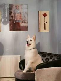 Pure white full pedigree German shepherd all his paper's and up to date eith jan