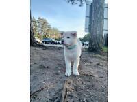 Japanese/American Akita Puppy