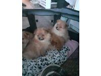Pomeranian x Maltese (Maltipom/Pomtese) puppies