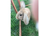 Dwarf Lop Ear Rabbit