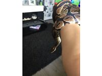 Gorgeous 3 year old male royal Python for sale