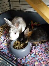 URGENT-2 beautiful tame rabbits