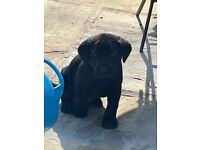 KC reg Labrador retriever puppies - beautiful home reared with all family available to see