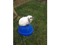 Rabbits for sale (one is a mini lop) blue eyes