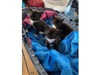 2 SOLD-1 GIRL LEFT TUXEDO X BOMBAY BLACK & WHITE KITTENS COLLECT NR2