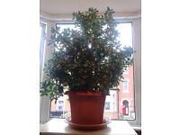 GIANT MONEY PLANT FOR SALE