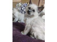 6 Male Ragdoll Kittens