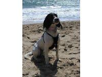 Springer Spaniel bitch - Loving and lively dog - 16 months old - Kennel Club pedigree