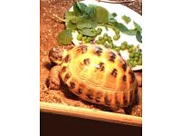 Male Horsefield Tortoise for sale to good home