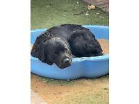 Black Labrador x Rottweiler