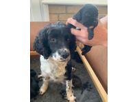 Sprocker Spaniels puppies