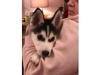 STUNNING SIBERIAN HUSKY PUPPY LAST ONE LEFT