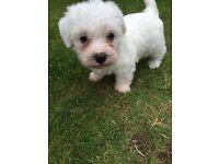 Bichon X Westie puppies