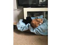 Kittens Ginger tabby, black, mottled