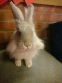 Lovely Lion X Lop Buck Bunny Rabbit